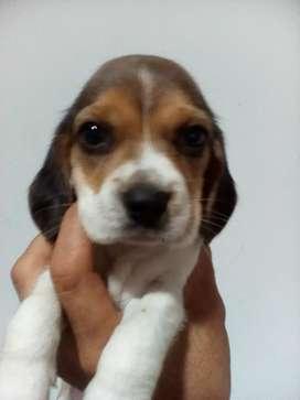 Disponible beagle tricolor