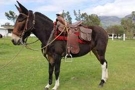 Caballos y mulas en Venta