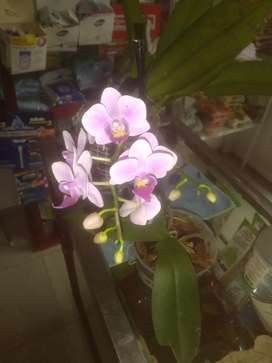 Venta de orquideas cattleya