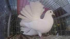Venta de palomas colipavas