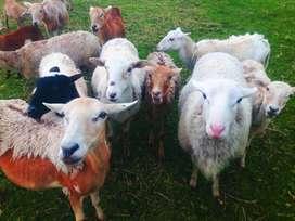 Ovinos Ovejas Corderos carnicos