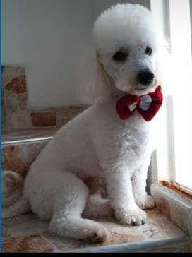 Se busca novia para hermoso poodle