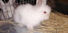 Vendo estos conejitos raza Teddy en Bogotá