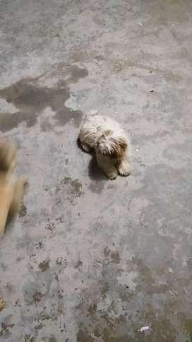 Venta perro shitzu