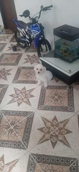 Vendo  cachorro minitoy de 5 meses 350 muy juicioso y jugueton
