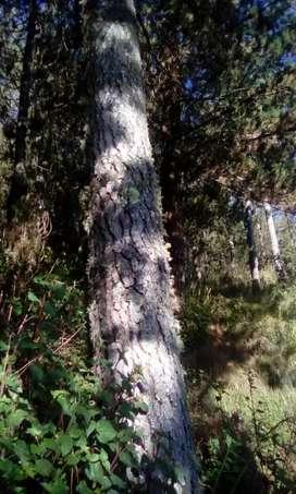 Vendo pinos