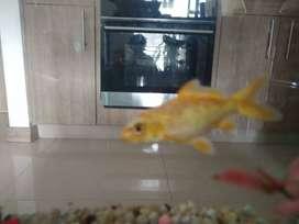 Pez Koi (Dos peces Amarillo y Plateado)