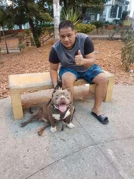Se vende cachorro american bully 10 mese