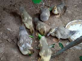 Vendo Patitos criollos