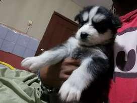 Cachorro husky con heterocromia