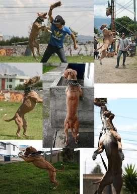Cachorros Pit Bull, excelente cachorros para ser campeones
