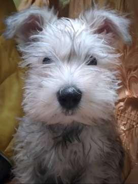 Vendo perro schanauzer  de 2 meses de nacido color blanco machito