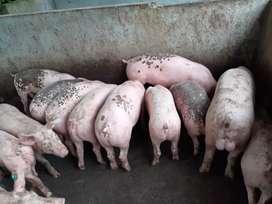 Se vende camada de cerdos