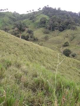 Hacienda cacotera y ganadera 127 Hectareas(180 cuadras)