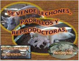 Lechonsitos