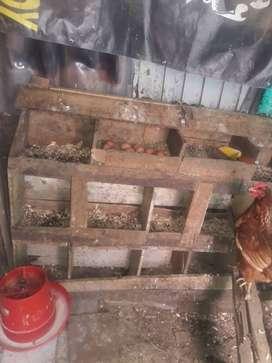 Venta gallinas ponedoras