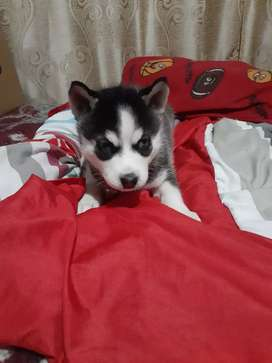 Se venden cachorros huskys siberianos