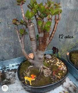 Bonsai komono 5 a 12años