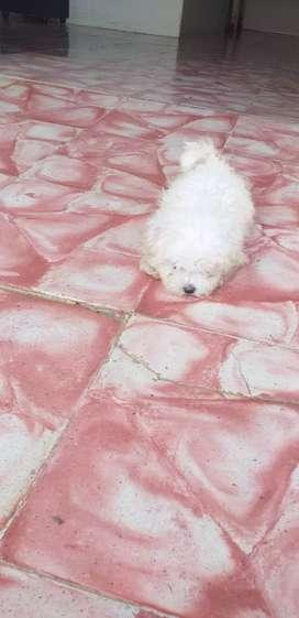 Macho de raza bichón maltés