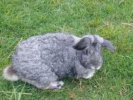 Conejos para pie de Cría, Carne y Mascotas