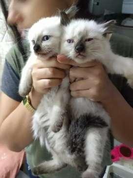 Gatos Gatitos siamés 100% puro desparacitado