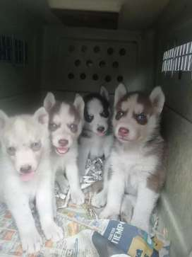 Hermosos cachorros lobos siberianos