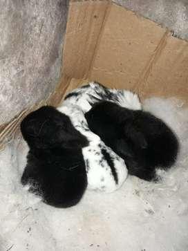 Vendo conejos de oreja caida