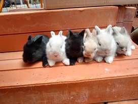 Conejos cabeza de leòn mini