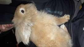 Conejo cabeza de leon