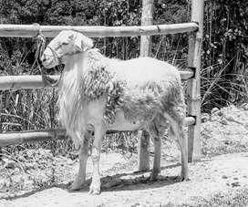 Camuros, ovejos, ovinos,