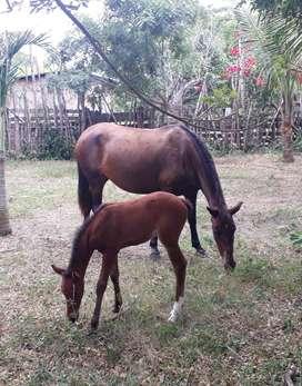 Tres caballos Yegua y potra ingles y potro trochador San Vicente, Manabi