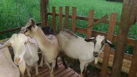 Cabras lecheras