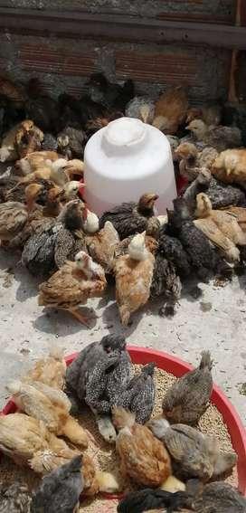 Pollos criollos bebes-recríados de 30 días