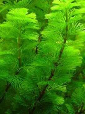 Plantas naturales para acuarios