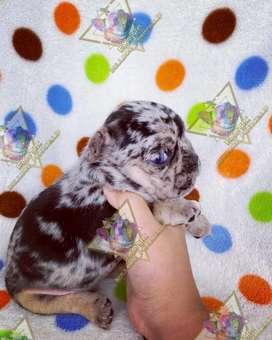 Hermoso Bulldog francés Merle ojos claros