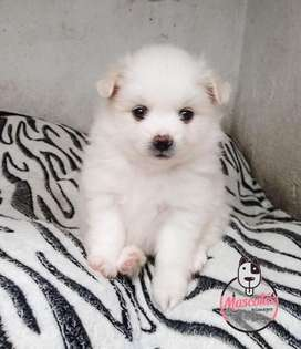 Espectaculares Pomerania Disponibles