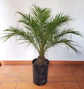 Phoenix Robellini, palmera enana