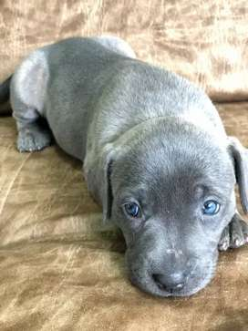 Hermoza pitbull gris ojos azules disponible
