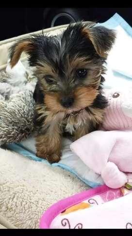 En venta cachorros yorkshire terrier