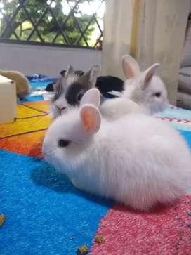 Conejos cabeza de León mini