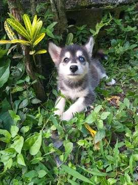 Hermosos cachorros de raza lobos ( husky siberiano)