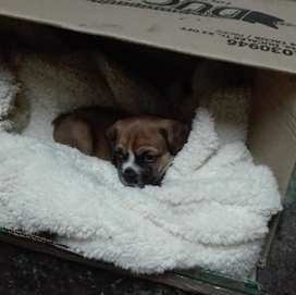 Cachorro macho Cruce beagle