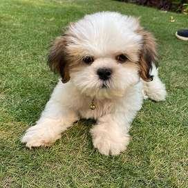 shitzu amorosos bebes caninos 56 dias