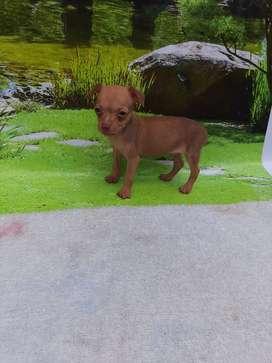 Hermosos cachorritos pincher miniatura de 45 dias