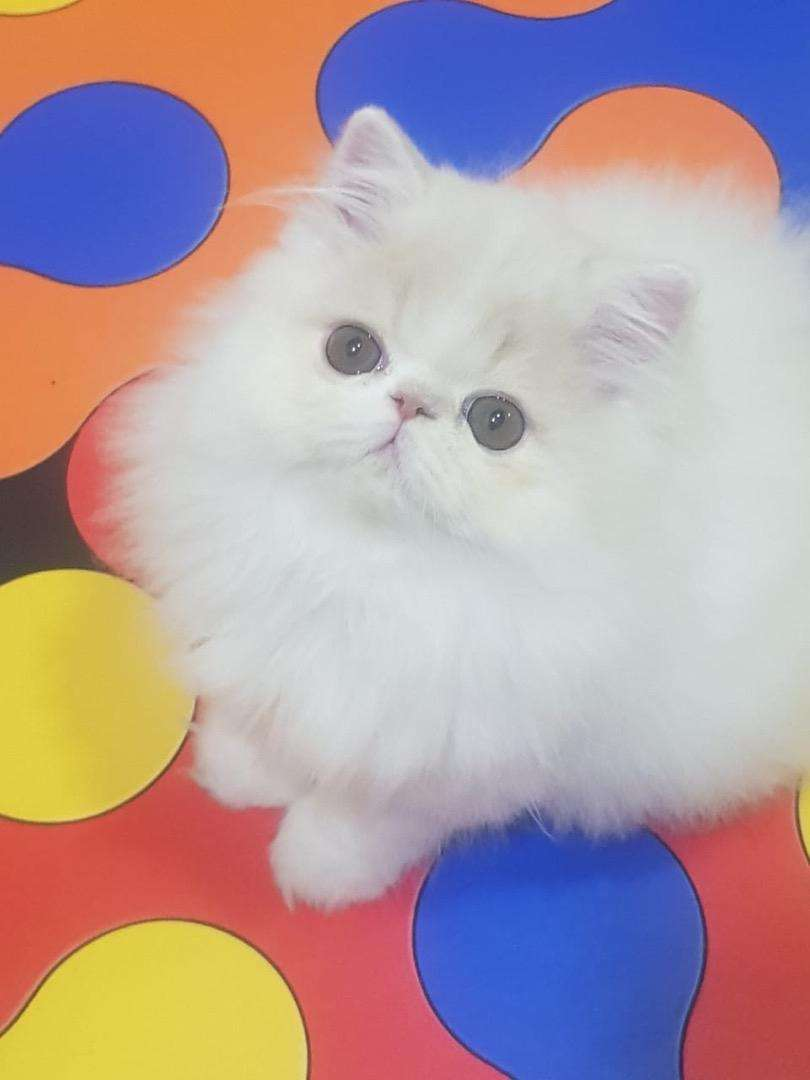 gatitos persas pedigree tica 0
