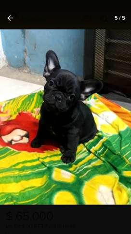 Bulldog france hembra negra de 60 dias