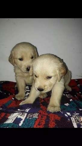 Poderosos cachorros golden retriever a la venta