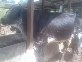 Vendo 7 vacas gyrolando preñadas entre 1 a 2 partos