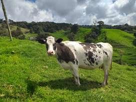 Bendo excelente vaca