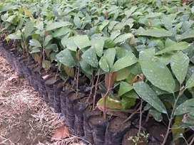 Plantas de cacao ccn51 rramilla